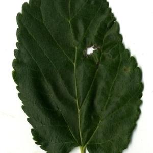 Photographie n°151638 du taxon Morus alba L. [1753]