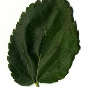 Photographie n°151639 du taxon Morus alba L. [1753]
