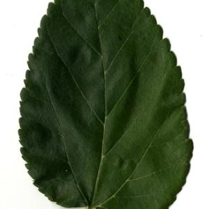 Photographie n°151640 du taxon Morus alba L. [1753]