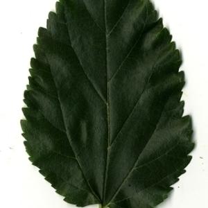 Photographie n°151646 du taxon Morus alba L. [1753]