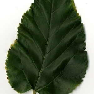 Photographie n°151664 du taxon Morus alba L. [1753]