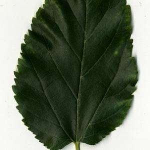 Photographie n°151665 du taxon Morus alba L. [1753]