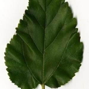 Photographie n°151666 du taxon Morus alba L. [1753]
