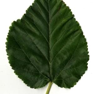 Photographie n°151669 du taxon Morus alba L. [1753]