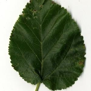 Photographie n°151673 du taxon Morus alba L. [1753]
