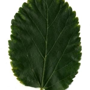 Photographie n°151674 du taxon Morus alba L. [1753]