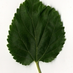Photographie n°151679 du taxon Morus alba L. [1753]