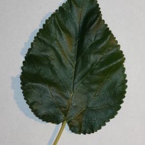 Photographie n°151686 du taxon Morus alba L. [1753]