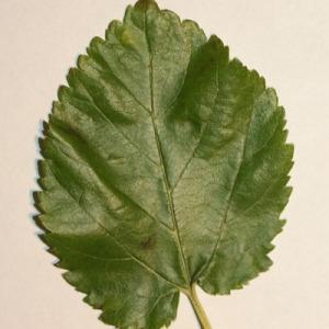 Photographie n°151687 du taxon Morus alba L. [1753]