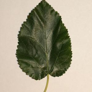 Photographie n°151688 du taxon Morus alba L. [1753]