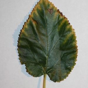Photographie n°151689 du taxon Morus alba L. [1753]