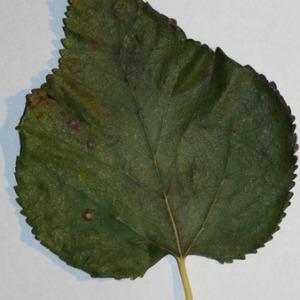 Photographie n°151690 du taxon Morus alba L. [1753]