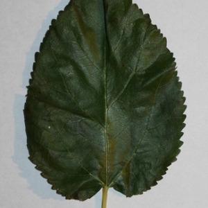 Photographie n°151691 du taxon Morus alba L. [1753]