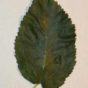 Photographie n°151692 du taxon Morus alba L. [1753]