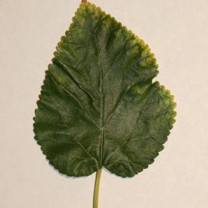 Photographie n°151693 du taxon Morus alba L. [1753]