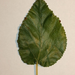 Photographie n°151696 du taxon Morus alba L. [1753]
