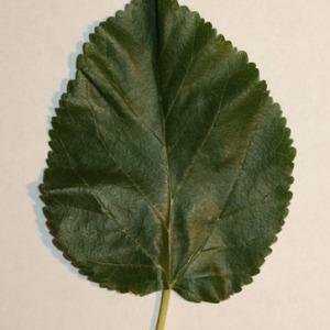 Photographie n°151697 du taxon Morus alba L. [1753]