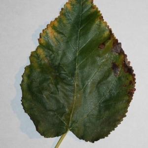 Photographie n°151698 du taxon Morus alba L. [1753]