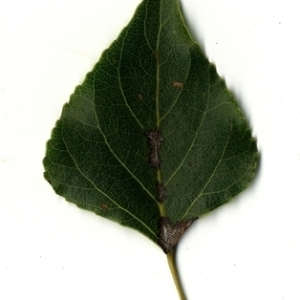 Photographie n°151712 du taxon Populus nigra L.