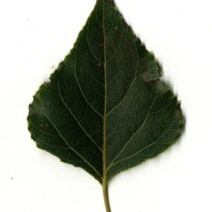 Photographie n°151714 du taxon Populus nigra L.