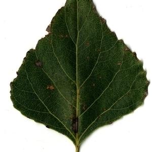 Photographie n°151715 du taxon Populus nigra L.