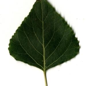 Photographie n°151716 du taxon Populus nigra L.