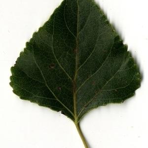 Photographie n°151717 du taxon Populus nigra L.
