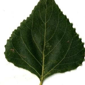 Photographie n°151721 du taxon Populus nigra L.