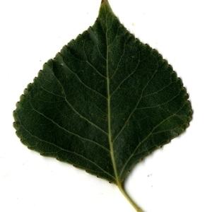 Photographie n°151724 du taxon Populus nigra L.