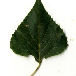 Photographie n°151725 du taxon Populus nigra L.