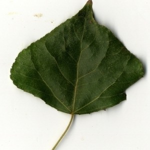 Photographie n°151726 du taxon Populus nigra L.