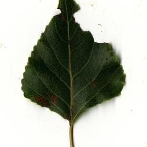 Photographie n°151727 du taxon Populus nigra L.