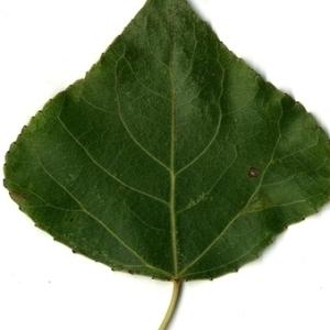 Photographie n°151728 du taxon Populus nigra L.