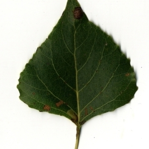 Photographie n°151729 du taxon Populus nigra L.