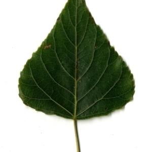 Photographie n°151730 du taxon Populus nigra L.