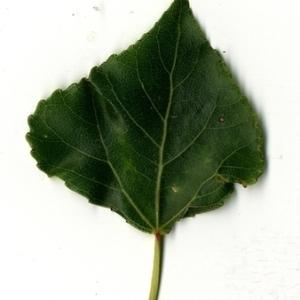 Photographie n°151731 du taxon Populus nigra L.