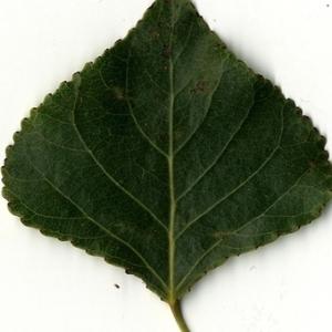 Photographie n°151732 du taxon Populus nigra L.