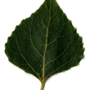 Photographie n°151733 du taxon Populus nigra L.