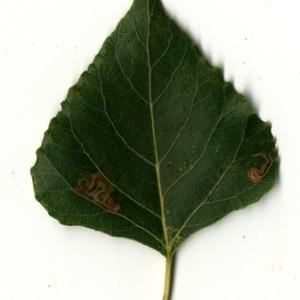 Photographie n°151734 du taxon Populus nigra L.