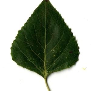Photographie n°151735 du taxon Populus nigra L.