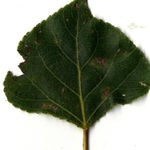 Photographie n°151736 du taxon Populus nigra L.