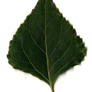 Photographie n°151737 du taxon Populus nigra L.