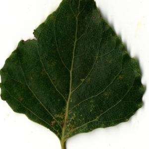Photographie n°151738 du taxon Populus nigra L.