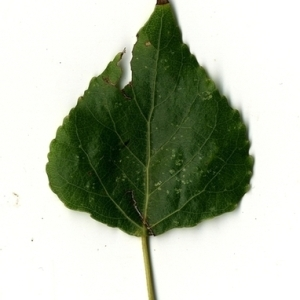 Photographie n°151739 du taxon Populus nigra L.