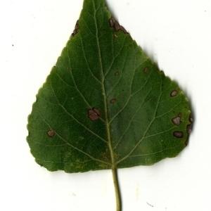 Photographie n°151741 du taxon Populus nigra L.