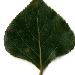 Photographie n°151742 du taxon Populus nigra L.