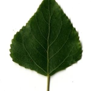 Photographie n°151744 du taxon Populus nigra L.