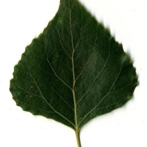 Photographie n°151745 du taxon Populus nigra L.