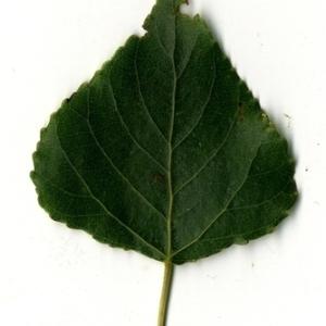 Photographie n°151746 du taxon Populus nigra L.