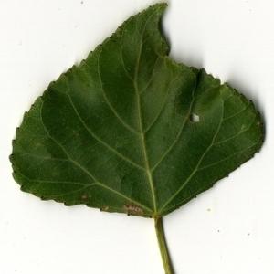 Photographie n°151747 du taxon Populus nigra L.